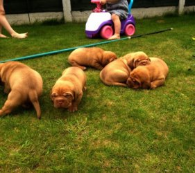 Top-Qualit�t Dogue De Bordeaux Welpen bereit, zur New Homes gehen