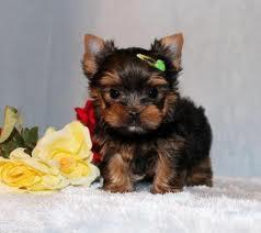 Biewer Yorkshire - Terrier Welpen