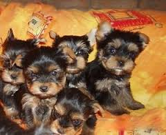 Bildh�bsche Yorkshire Terrier Welpen of sunny hill