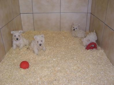 West HighLand pups te koop nu