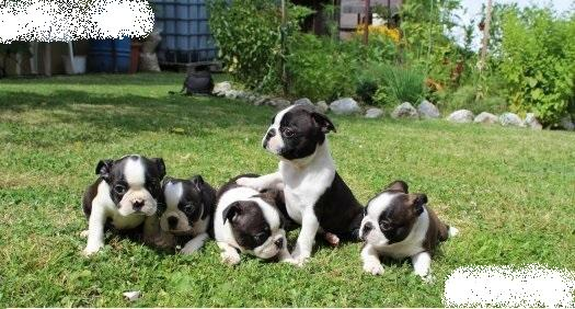 Boston Terrier Welpen !!!!!!!!
