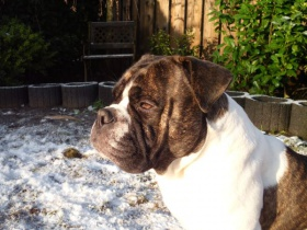 Olde-English-Bulldogge-Welpen