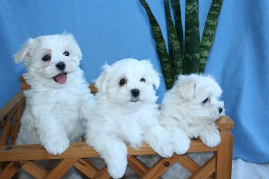 Sehr Schone Malteser Welpen Ruden U Hundinnen Wien Kostenloseanzeigen At