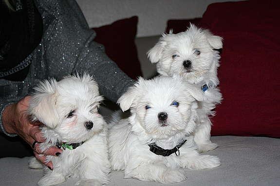 Malteser Hundewelpen In Sterreich 2020 Malteser Welpen Kaufen Verkaufen Sterreich Welpen Kaufen Malteser Sterreich Malteser Z Chter Kennel Welpen Kaufen Malteserg In Sterreich