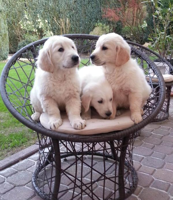 S��e Golden Retriever Welpen