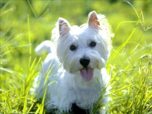 West Highland White Terrier-Welpen