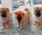 chow chow Z�chter