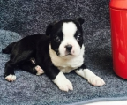 z�chter boston terrier
