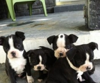 Boston terrier �sterreich