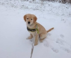 Golden retriever Z�chter in �sterreich