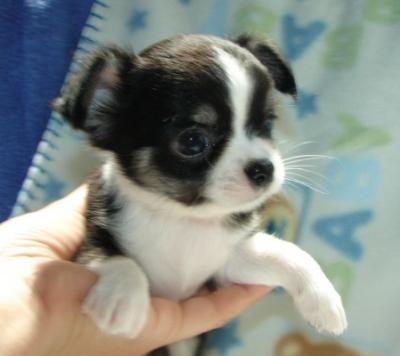 Welpen günstige kaufen chihuahua Chihuahua Welpen